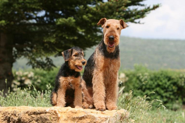 2 Airedales Terrier assis sur un rocher