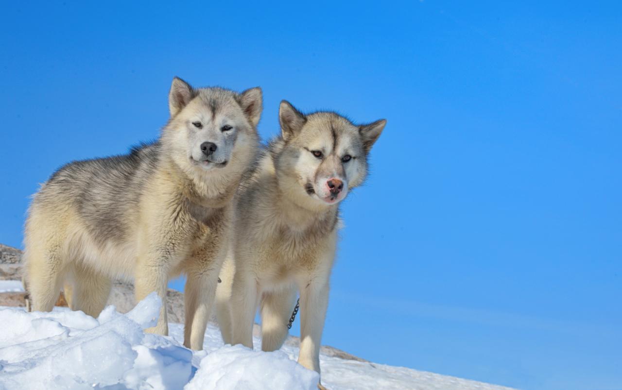Le chien du Groenland
