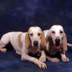 2 chiens Porcelaine couchés en studio sur fond bleu