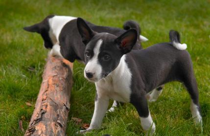 2 chiots Basenji noir et blanc qui jouent avec un tronc d'arbre