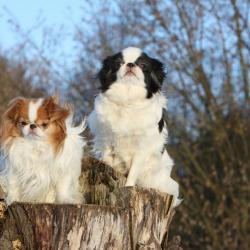2 Epagneuls Japonais assis sur un tronc d'arbre