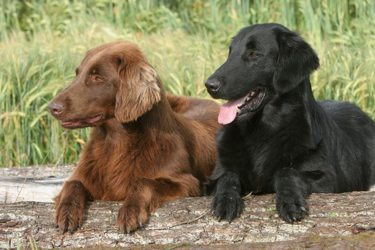 Le Flat Coated Retriever
