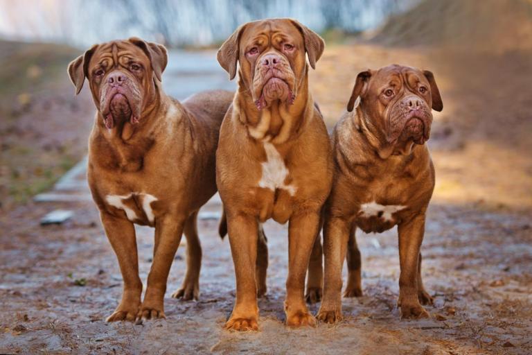 3 Dogues de Bordeaux