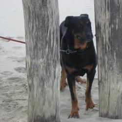 Athos, Beauceron adulte debout sur le sable entre 2 arbres