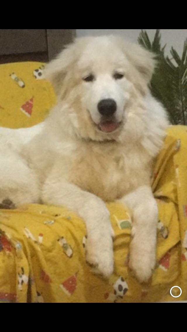 Baloo, le Patou de Aline