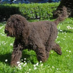 Barbet noir qui trottine sur l'herbe