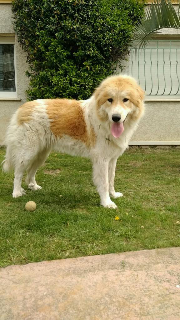 Belle, chienne Montagne des Pyrénées de Laetitia