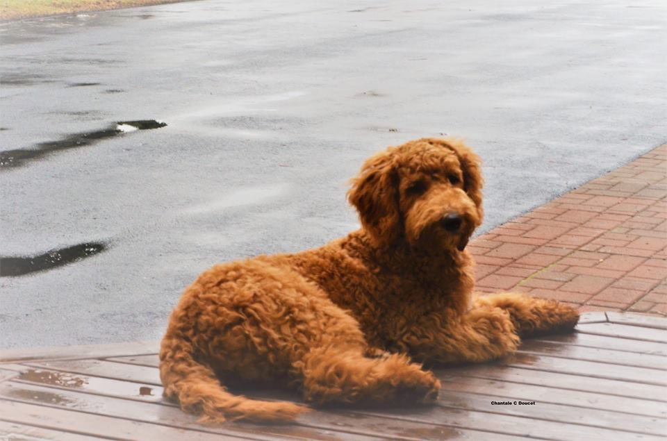 Belle, la Goldendoodle de Chantale