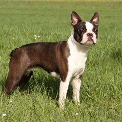 Boston Terrier debout dans un champs