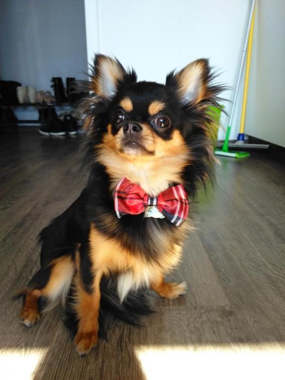 Bounty, le Chihuahua d'Elodie âgé de 2 ans