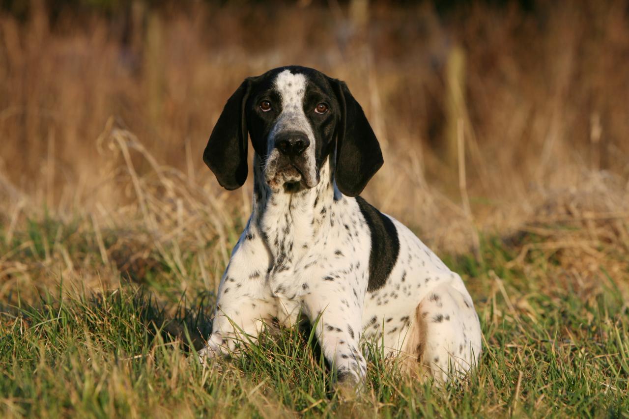 Braque d'Auvergne couché dans l'herbe