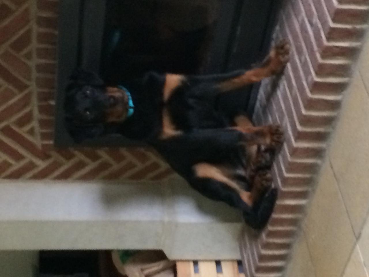 Buddy à 4 mois, la chienne Beauceron de Sophie