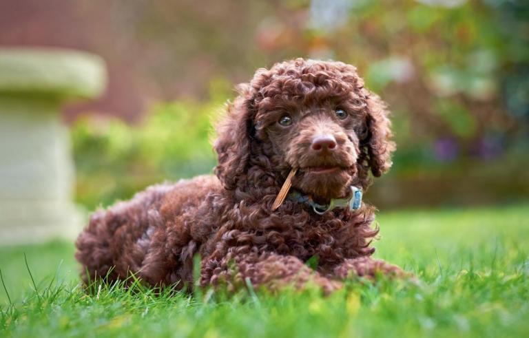Caniche marron couché sur l'herbe