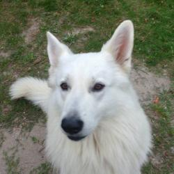 Chien Berger Blanc suisse de Laurent