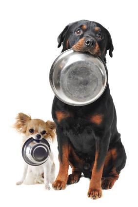 Chien Rottweiler avec son copain Chihuahua qui tiennent leur gamelle