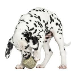 Chiot Dalmatien qui joue avec sa balle
