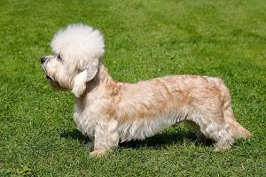 Le Dandie Dinmont Terrier