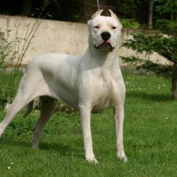 Dogue Argentin blanc debout dans un jardin