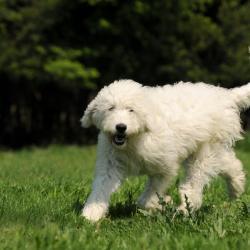 Goldendoodle blanc debout sur de l'herbe, poils au vent