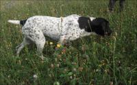 Heidy, chienne Braque d'Auvergene à l'arrêt