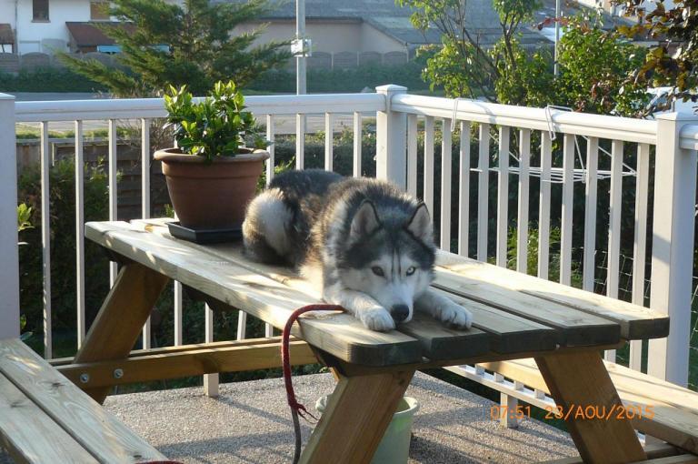 Husky Sibérien noir, blanc et gris aux yeux vairons
