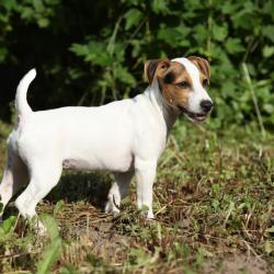 Petit Jack Russel Terrier dans la nature