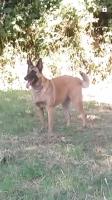 La chienne Malinoise de Joëlle, 4 ans