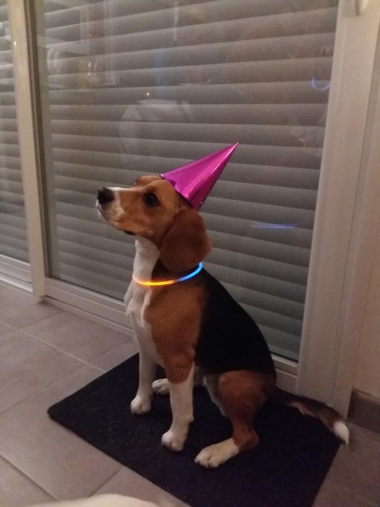 Le Beagle de Marine avec son chapeau de fête
