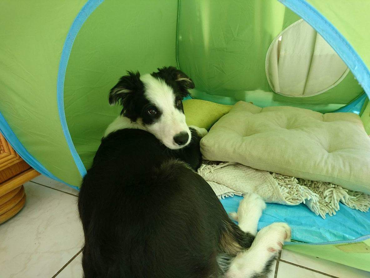 Le Border Collie de Josette
