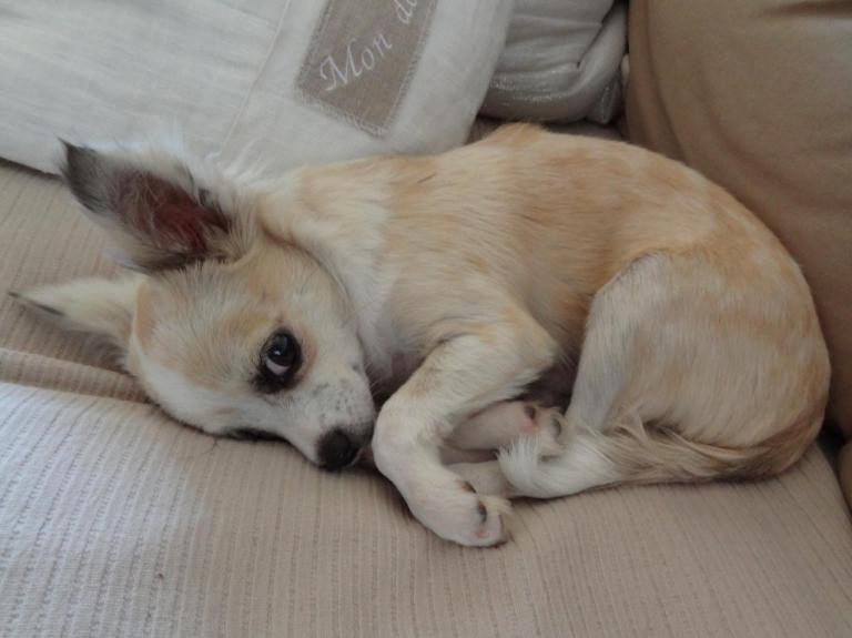 Le Chihuahua de Jean, 5 mois