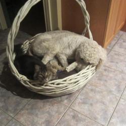 Le Goldendoodle de Vivianne avec son copain le chat