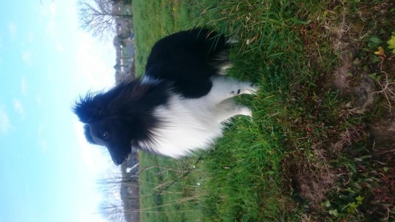 Leeroy, le chien Shetland de Maxime