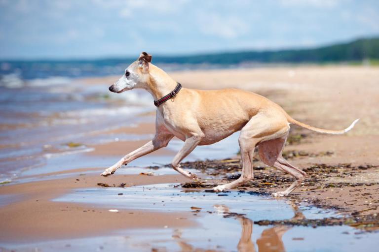 Lévrier qui court sur la plage