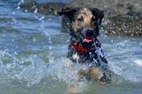Lovely, berger Australien croisée qui s'amuse dans l'eau