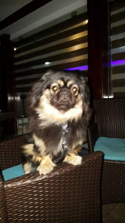 Manissa, une chienne Pékinois aux superbes couleurs