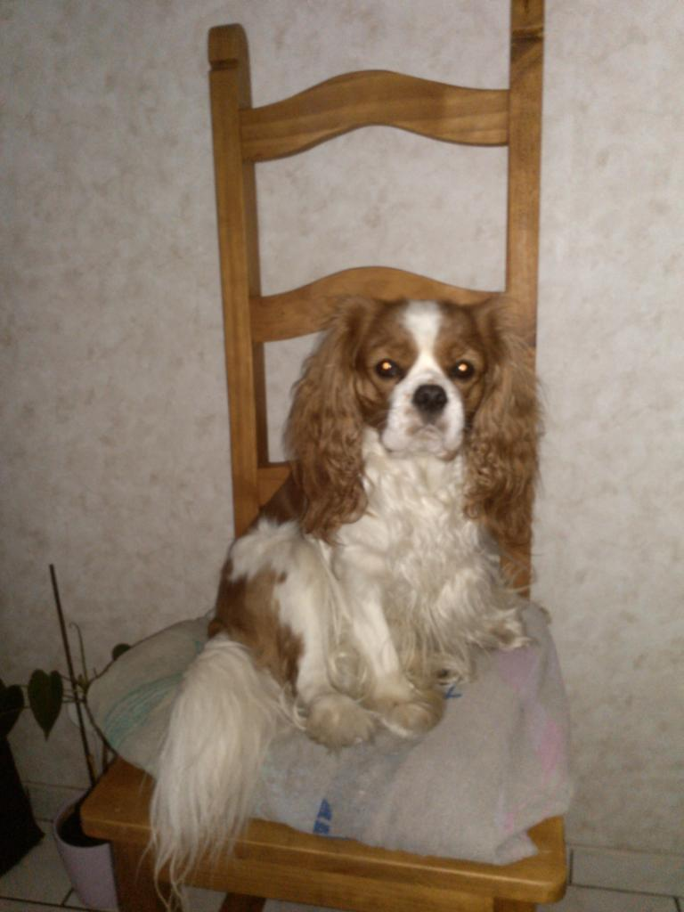Mikado, le Cavalier King Charles de Dominique