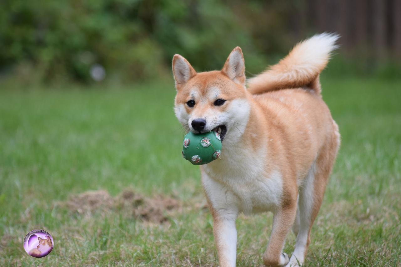 Myôga femelle Shiba avec son ballon