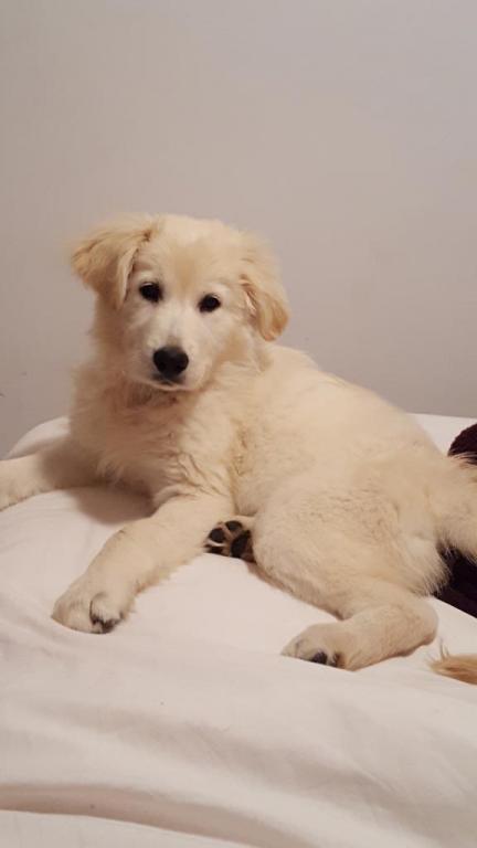 Nala 3 mois, chienne Berger Blanc Suisses de Kennie