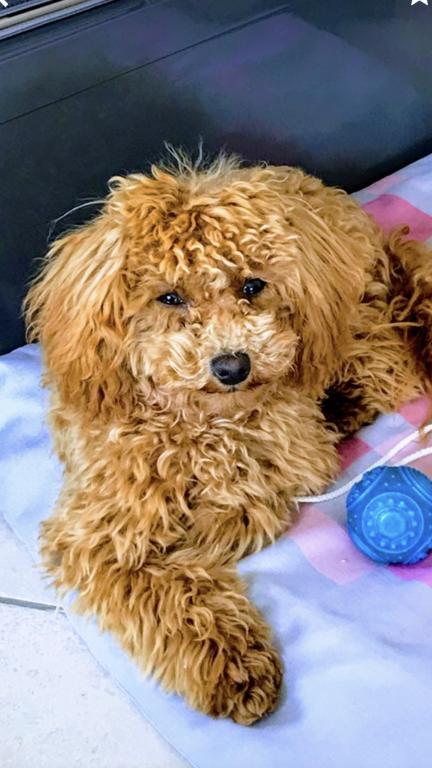 Olaf, petit Caniche Toy de 11 mois