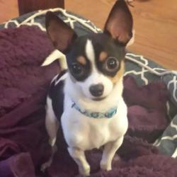 Pico, le petit Chihuahua de Karine
