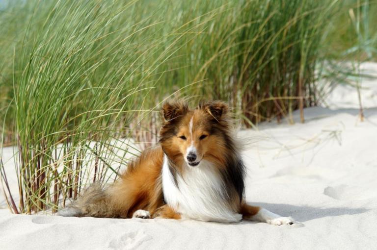 Shetland noir, blanc et feu couché sur du sable