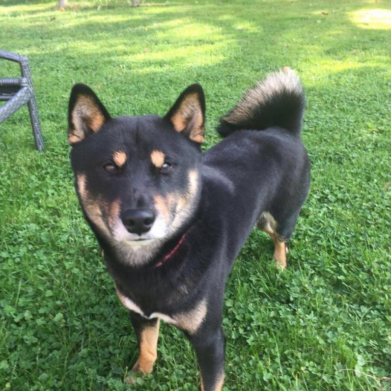 Shiba, le petit chien de Carlone