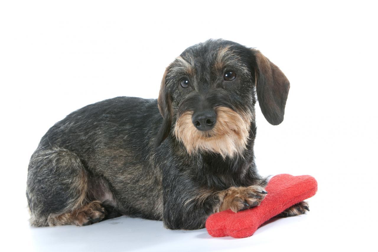 Tout savoir sur le teckel - Enlever poil de chien voiture ...