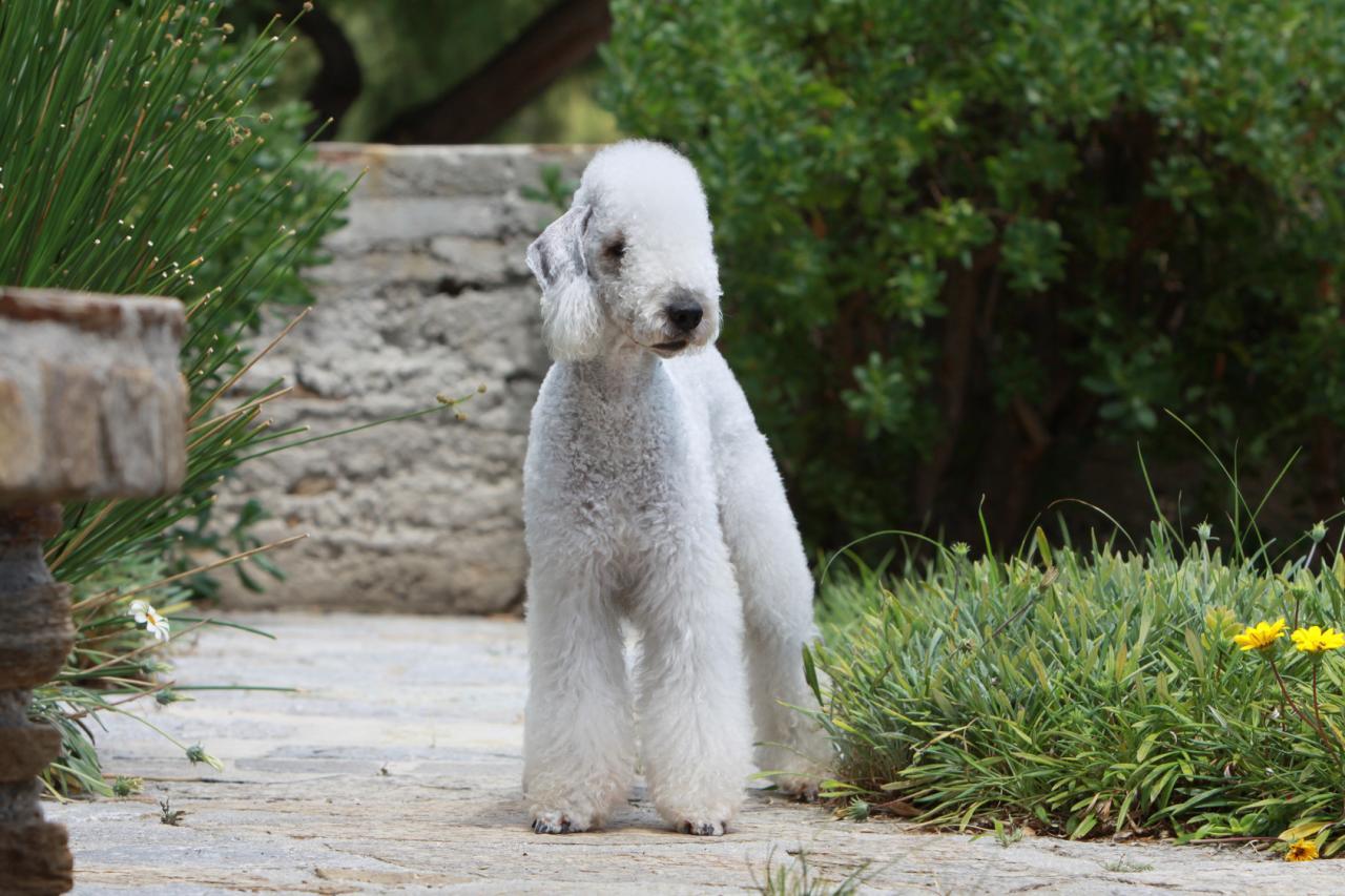 Le Terrier de Bedlington