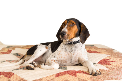 Treeing Walker Coonhound couché sur un lit
