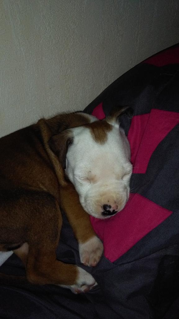 Tyson, Amstaff de 7 semaines