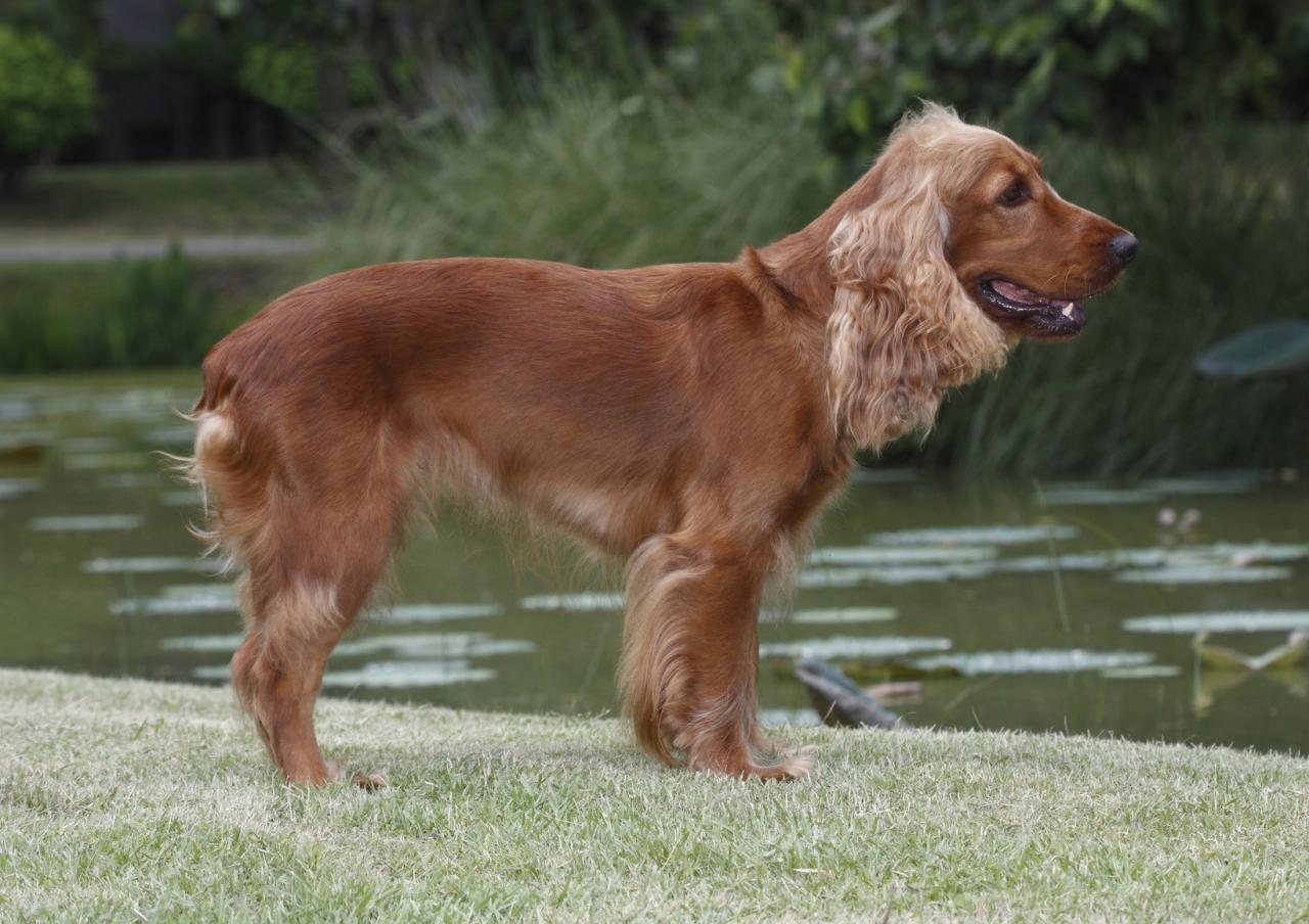 Welsh springer spaniel au bord de l'eau