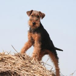 Welsh Terrier sur une botte de paille