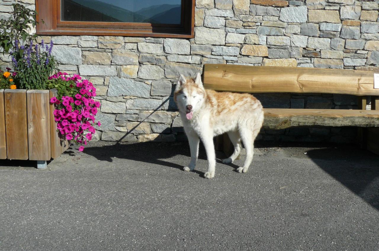 YORK, husky aux yeux bleus de 15 ans