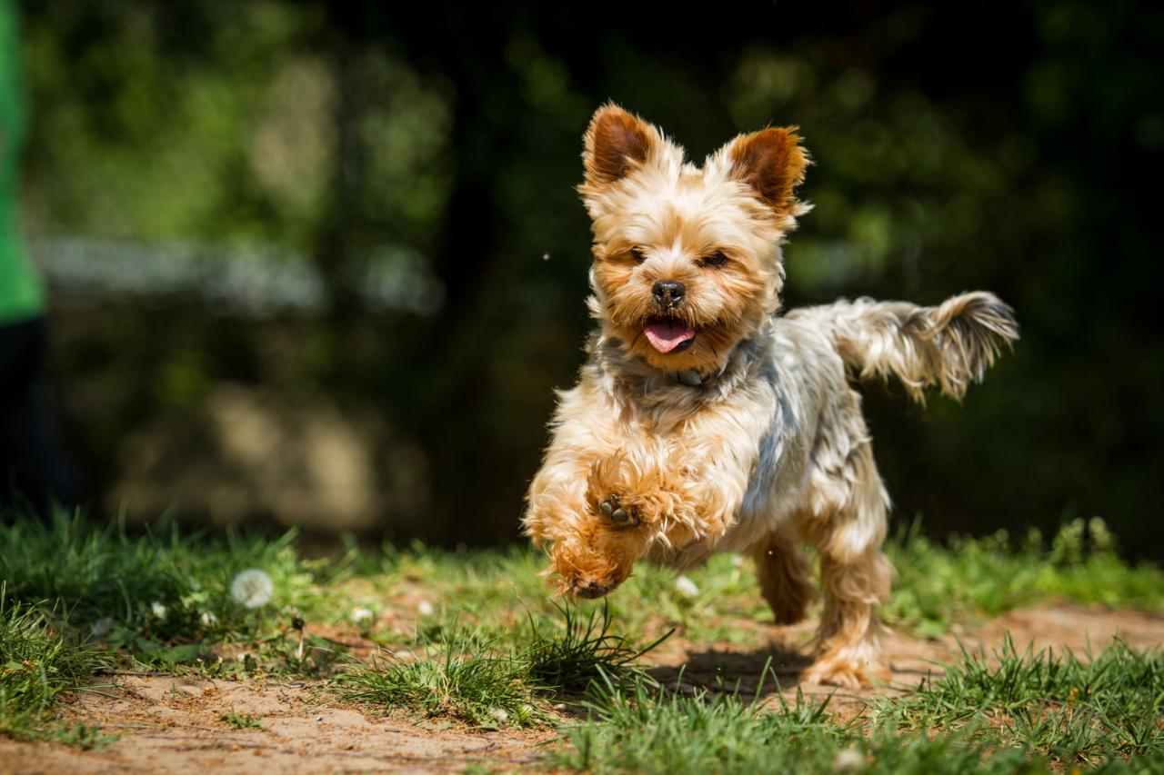 Pin Chien-yorkshire-terrier on Pinterest